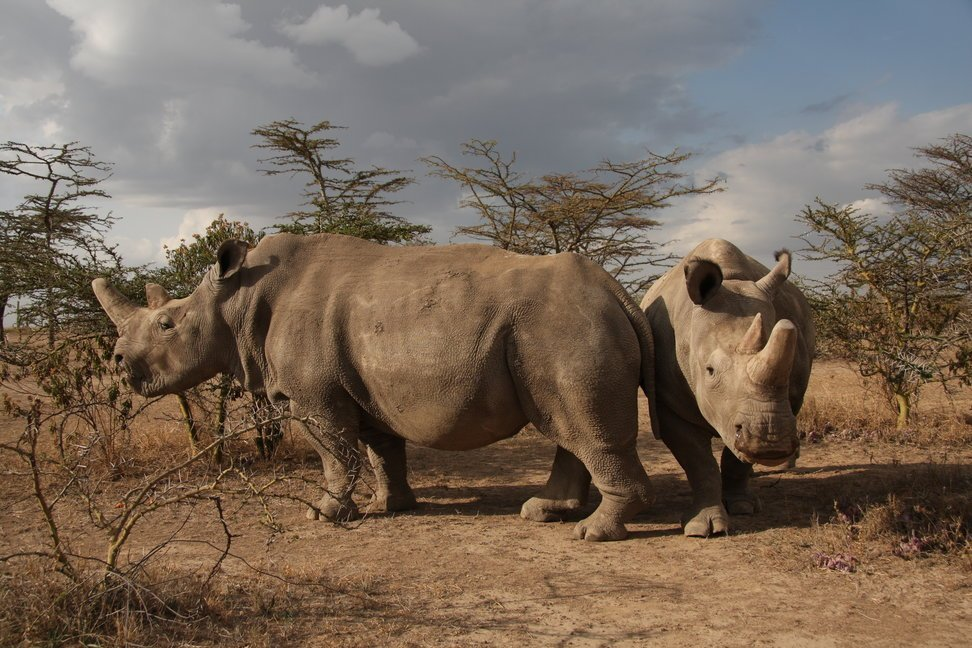 Saving Northern White Rhinoceros from extinction