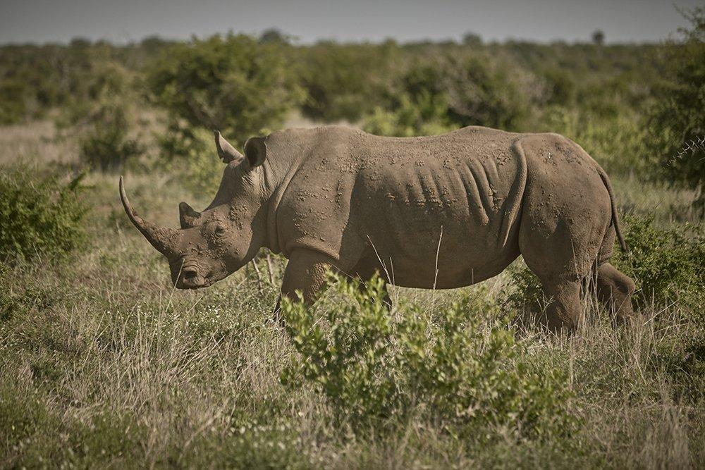 Rhino Tears raises R2-million to combat poaching